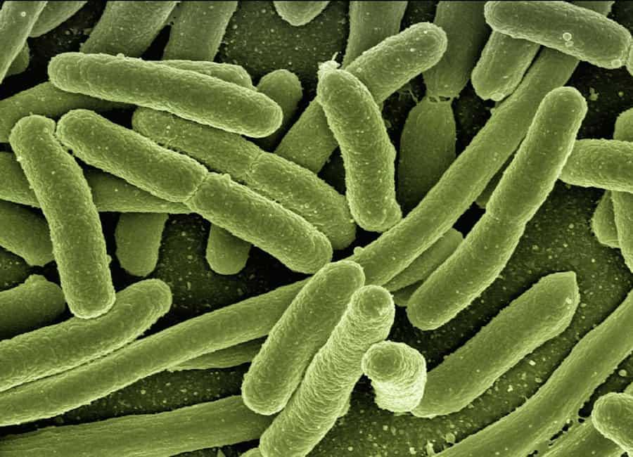eserihija koli bakterija